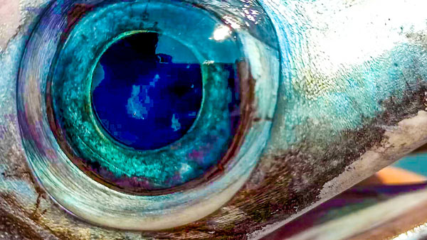 Occhio pesce spada